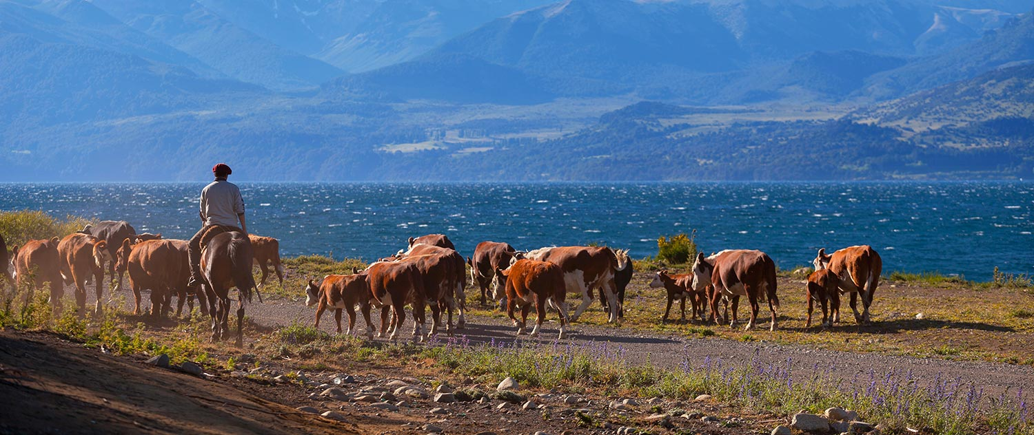 Man guides a herd of brown cows near the mountains of Argentina