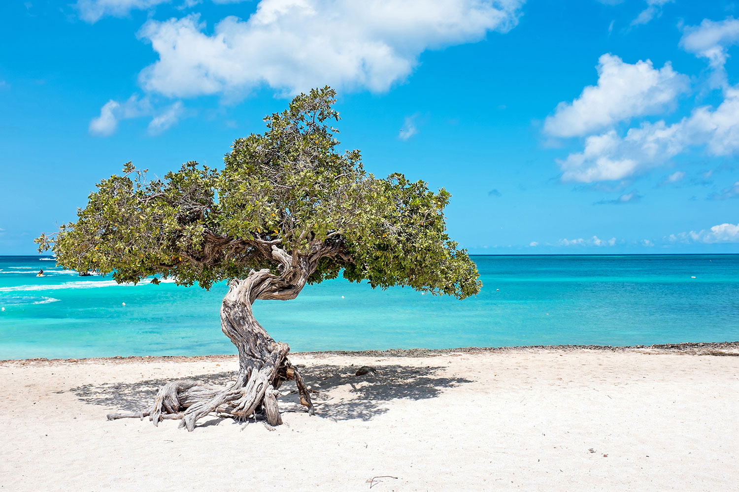 Tree with a curving trunk planted in the sand of a beach in Aruba