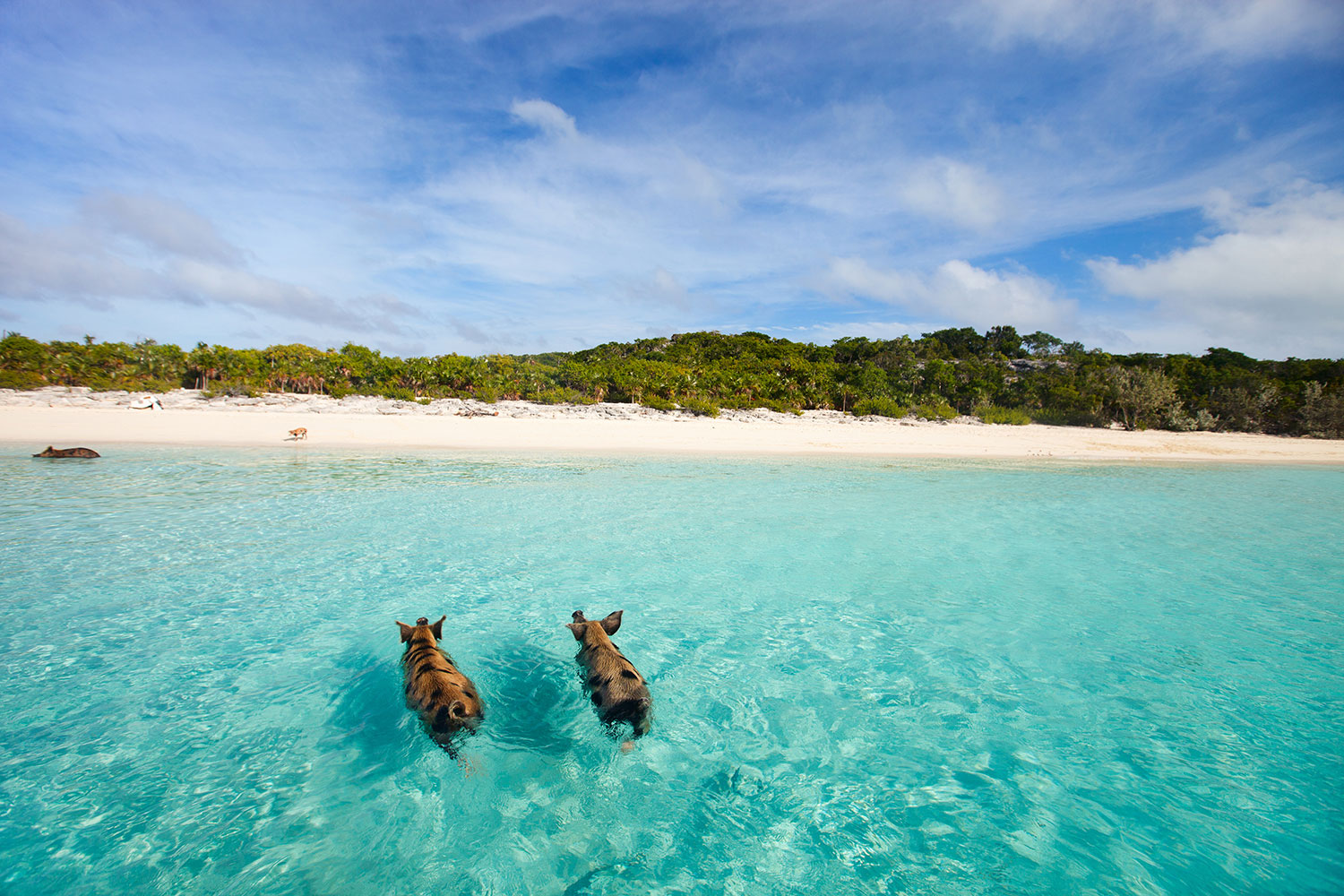 Two pigs swimming near the shore in the Bahamas