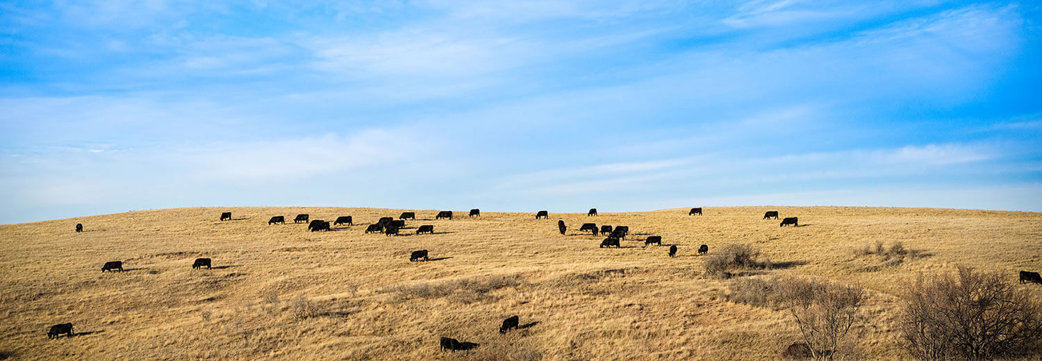 Cows graze on a golden plain under a blue sky in Bismarck