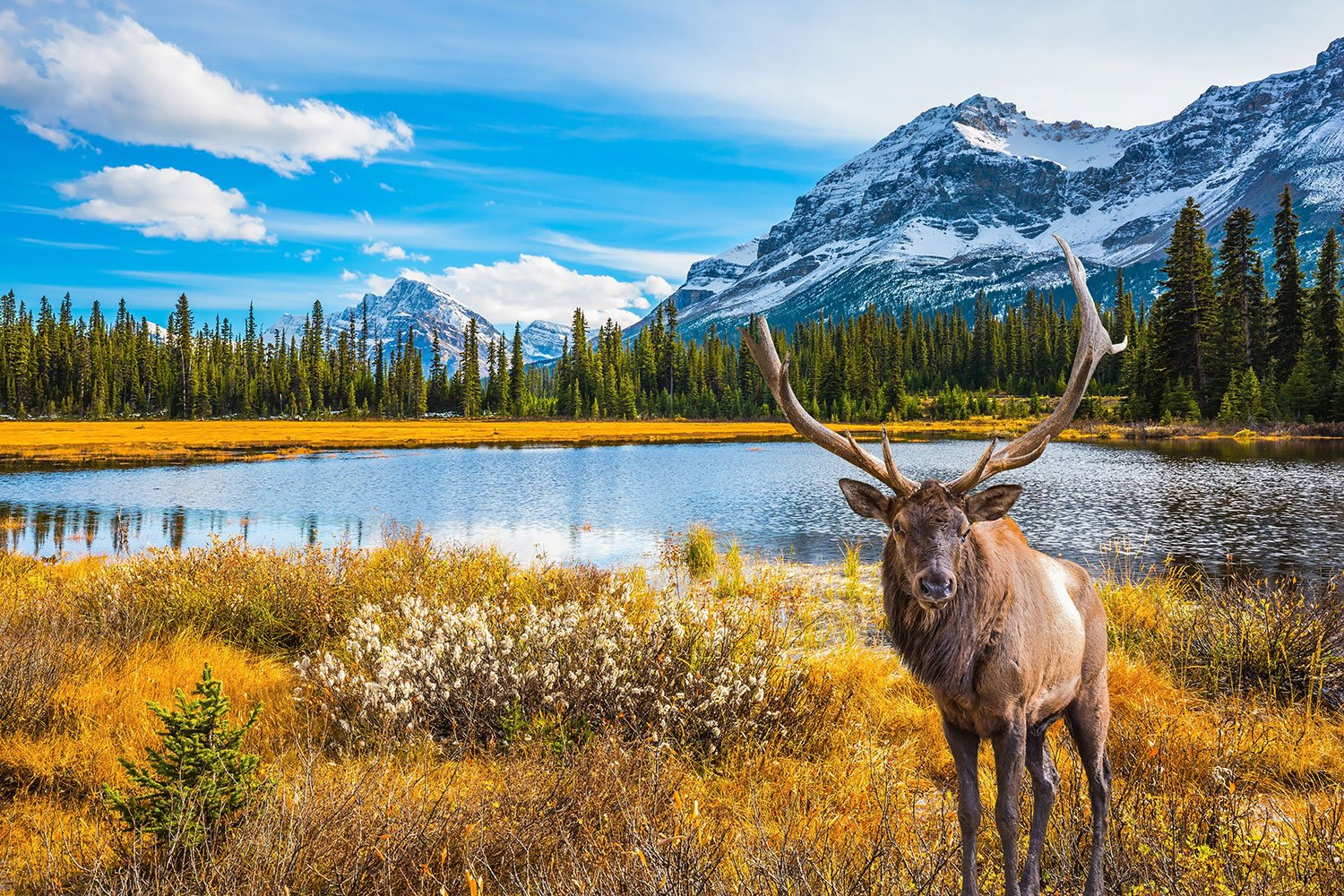Deer with branched antlers stands near a lake in Canada