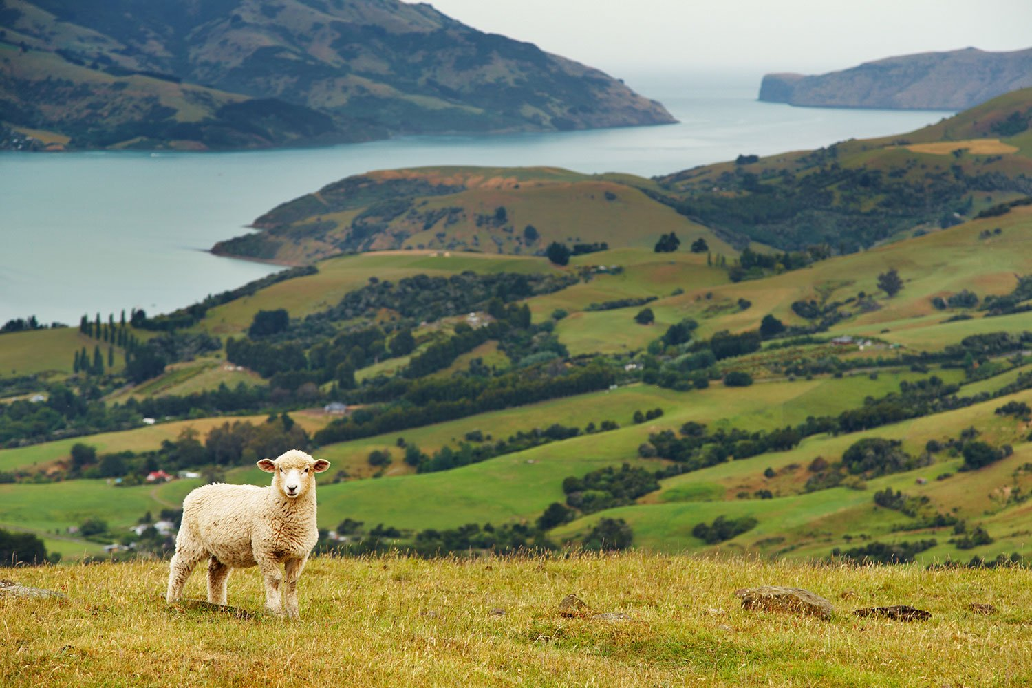 A fluffy white sheep on a grassy hill overlooking a green valley and large body of water in New Zealand