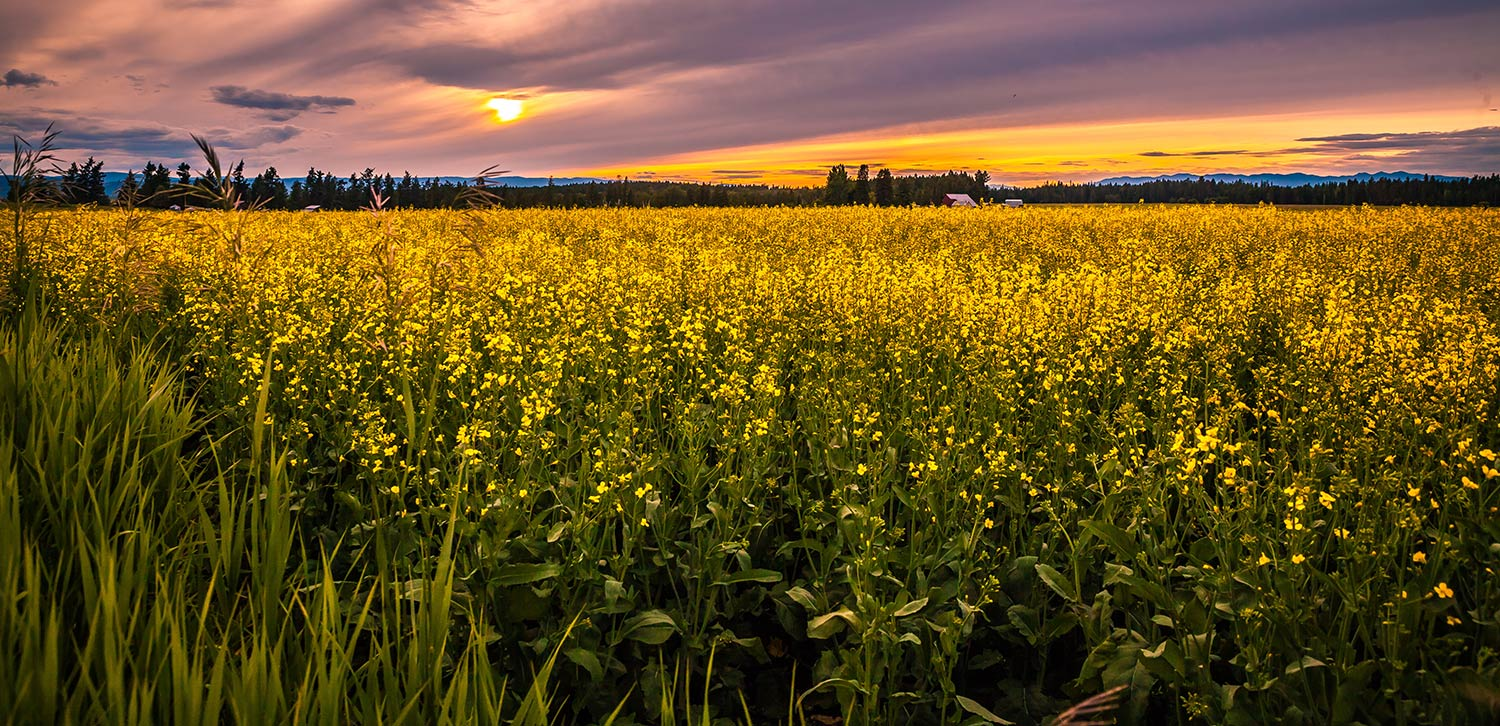 A large canola field at sunset in Kalispell