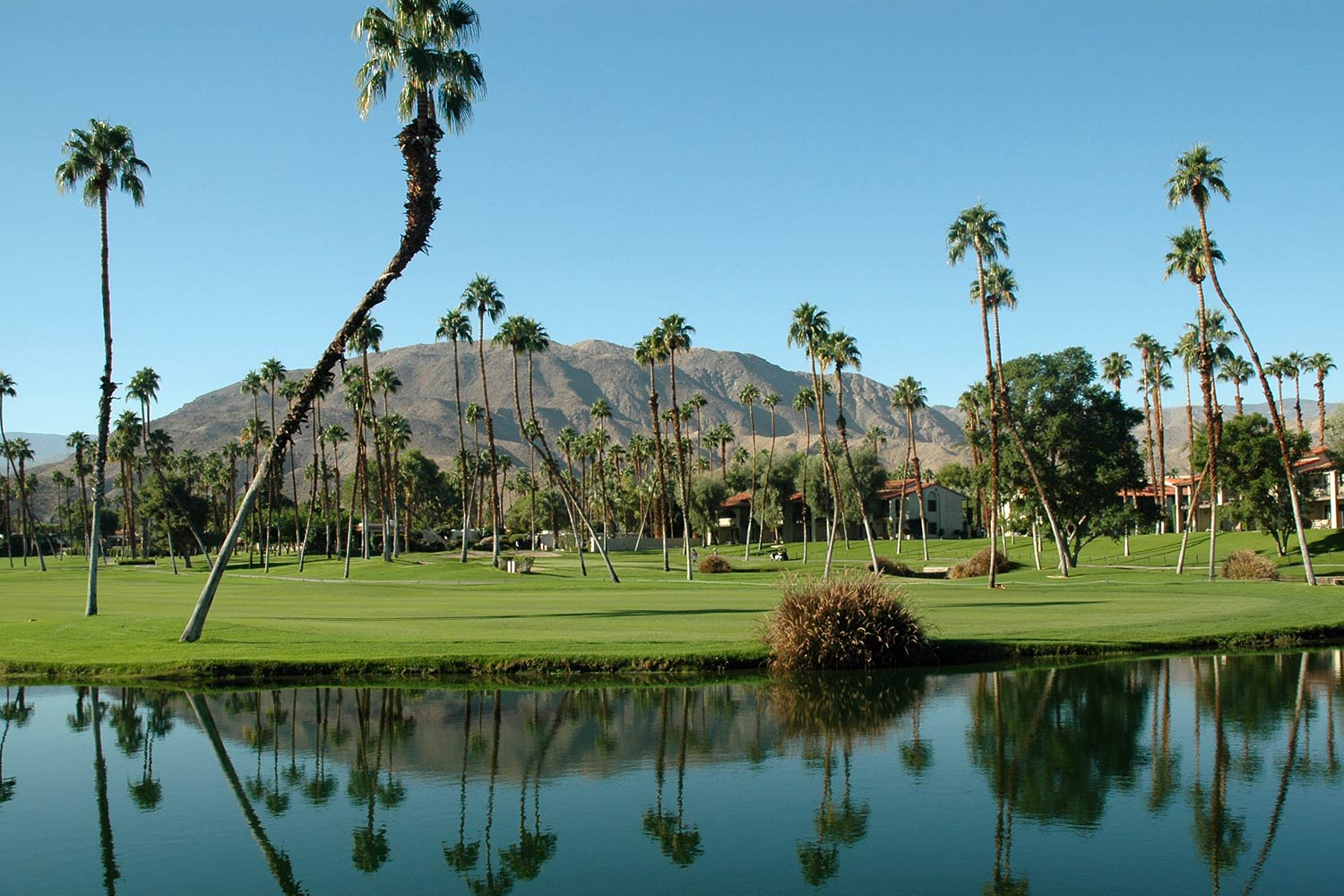 Slender palm trees dot green grass with a large hill in the background in Palm Springs