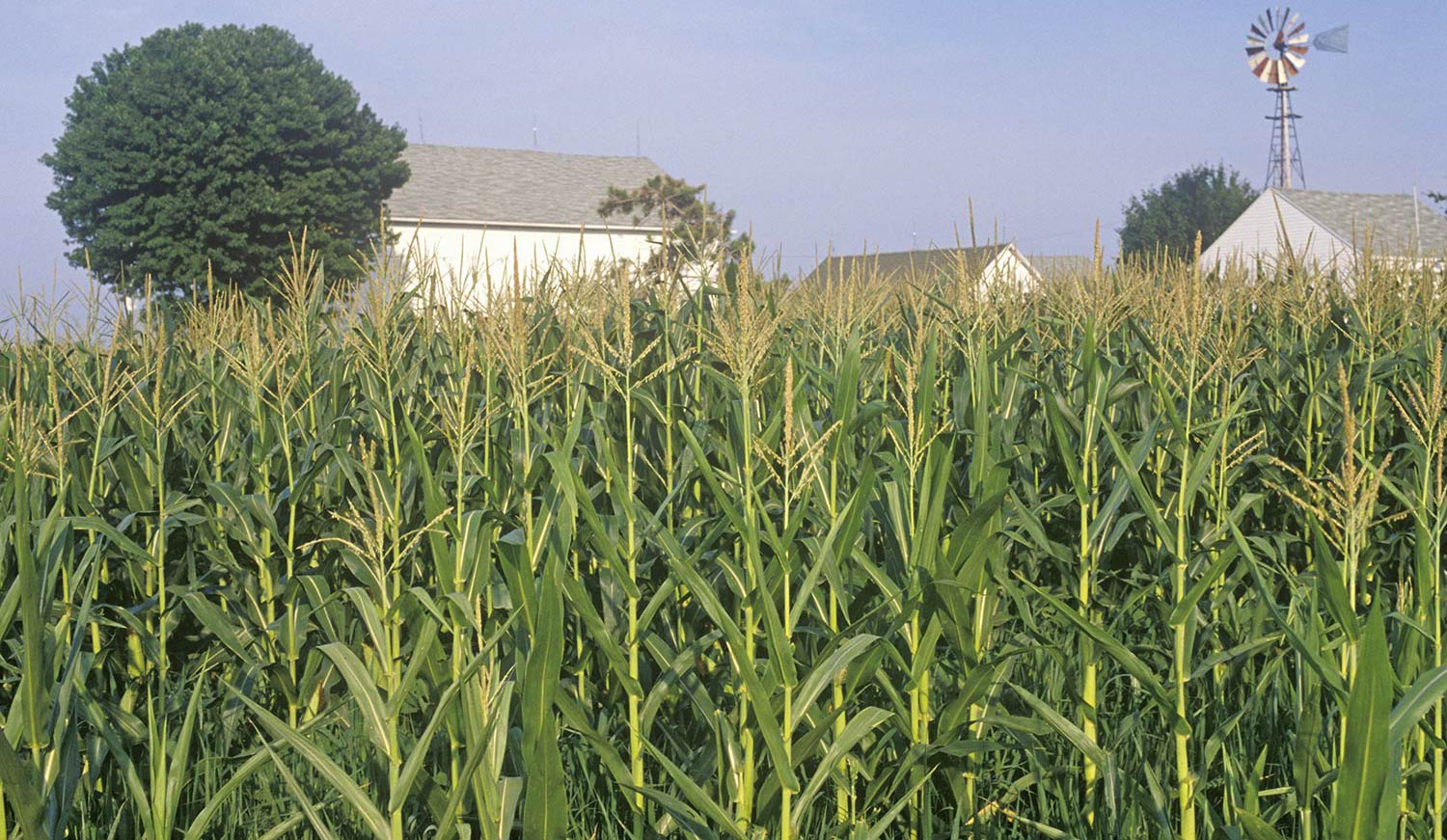 Plentiful corn stalks in front of a white farmhouse in South Bend